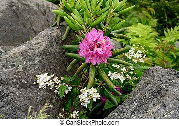między, rododendron, otoczaki, kwiaty