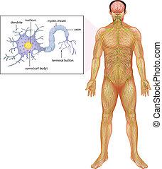 neuron, ludzki