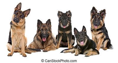 niemiecki pastuch, grupa, psy