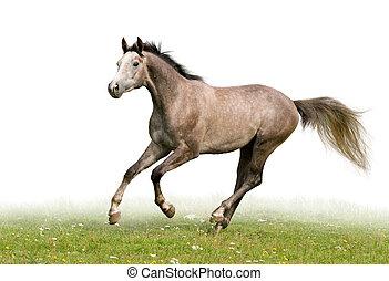 odizolowany, koń, biały, szary