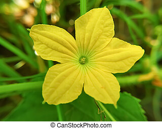 ogórek, kwiat