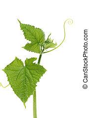 ogórek, winorośl