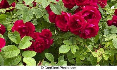 ogród, róże, czerwony, dziki, wiatr, przenosić