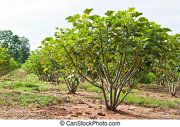 okolica, tajlandia, roślina, jatropha
