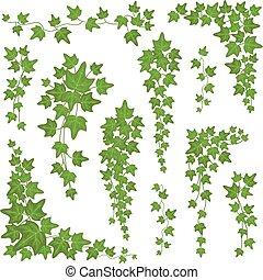 ozdoba, wektor, liście, wspinaczkowy, wisząc, bluszcz, odizolowany, biały, roślina, ściana, tło, komplet, zielony, branches.