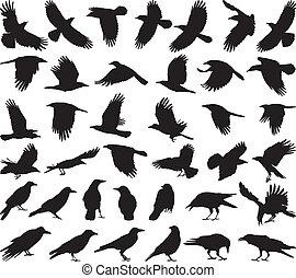 padlina, ptak, piać