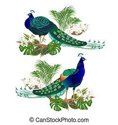 pawie, piękno, kwiaty, tropikalny, ptaszki, egzotyczny, wektor