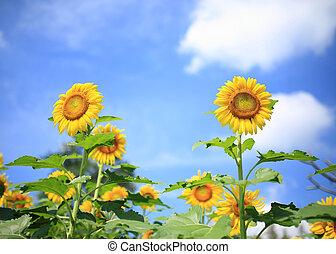 piękny, błękitne niebo, ogród, słoneczniki