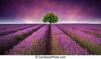 piękny, lato, opozycyjny, wizerunek, drzewo, lawendowe pole, kolor, zachód słońca, krajobraz, horyzont, jednorazowy