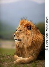 piękny, lew, zwierzę, dziki, portret, samiec