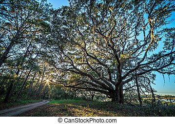 piękny, natura, dąb, drzewa, plantacja, zachód słońca