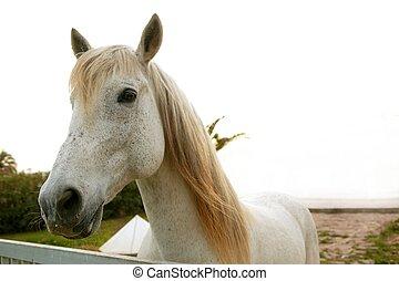 piękny, patrząc, koń, aparat fotograficzny, biały