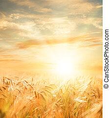 piękny, pszenica, field.