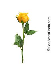 piękny, róża, biały, odizolowany, żółty