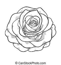 piękny, róża, odizolowany, czarne tło, monochromia, biały