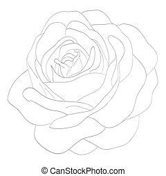 piękny, róża, odizolowany, czarnoskóry, monochromia, biały, background.?