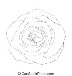 piękny, róża, odizolowany, tło., czarnoskóry, monochromia, biały
