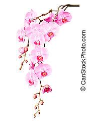 piękny, różowy, cielna, gałąź, kwiaty, storczyk, zawiązki