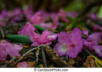 pieśń, rododendron, kwiaty, gruntowy