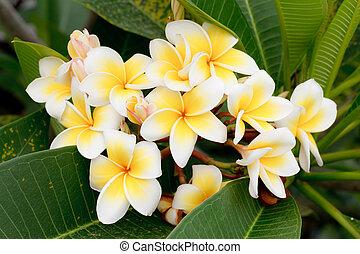 (plumeria), frangipani, tropikalny, gałąź, tajlandia, kwiaty