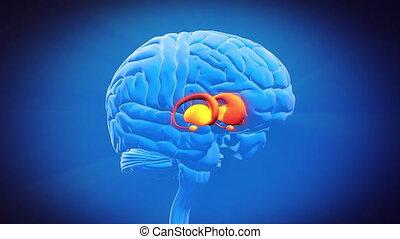 podstawowy, -, ganglia, mózg, część