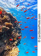 podwodny, koralikowa rafa