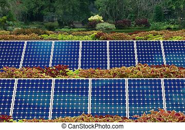 pojęcie, ogród, poduszeczka słoneczności
