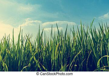 pola, ryżowe rozdrażnienie