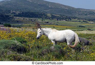pole, koń, biały