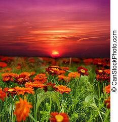 pole, kwiat, zachód słońca