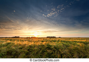 pole, na, zachód słońca, jęczmień, złoty