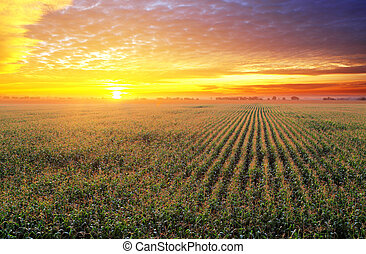 pole, nagniotek, zachód słońca