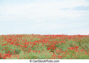 pole, niebo, czerwony, pochmurny, maki