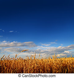 pole, pszenica, zachód słońca, lekki