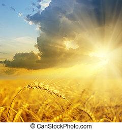 pole, pszenica, zachód słońca, złoty, kłosie
