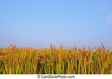 pole, rozdrażnienie, jesień