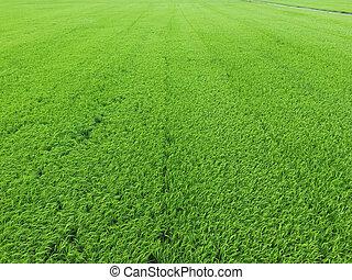 pole, ryż, antenowy prospekt