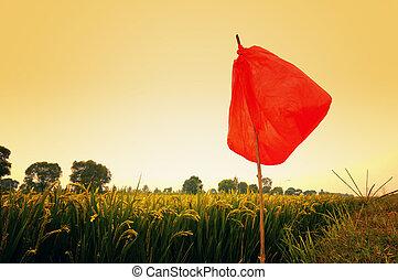 pole, ryż, zmierzch