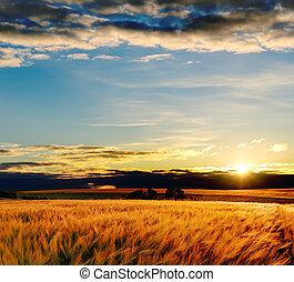 pole, zachód słońca, jęczmień, złoty