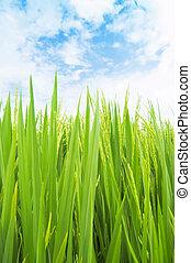 pole, zielony ryż