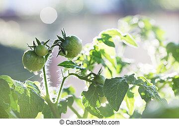 pomidor, rozsady