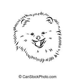 pomorski, tło., biała twarz, pociągnięty, ręka, purebred, poła, sketch., pies