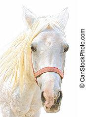 portret, koń, biały
