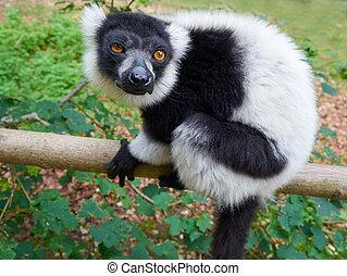 portret, lemur, madagaskar, ruffed