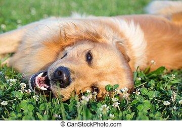 portret, pies, młody, piękno