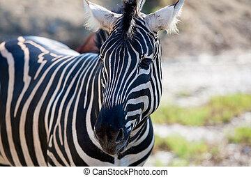portret, poziomy, afrykanin, zebra, prospekt
