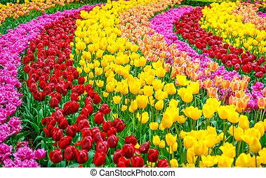 próbka, wiosna, tulipan, tło, ogród, kwiaty, albo