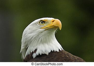 profil, orzeł, amerykanka, łysy