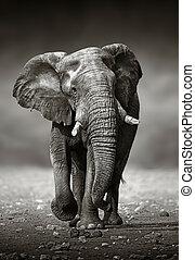 przód, dostęp, słoń