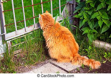przeglądając, brama, kot, imbir, outdoors, posiedzenie